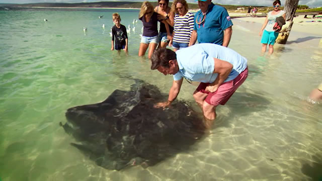 Stingrays on Hamelin Bay