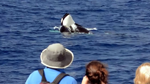 Killer Whales off Bremer Bay
